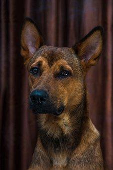 Dog, Puppy, Brown, Studio, Pet, Animal