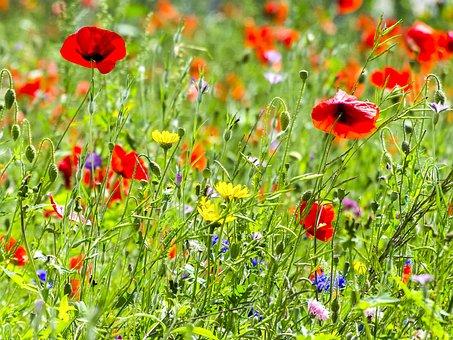 Blume, Blüte, Pflanze, Blumenwiese