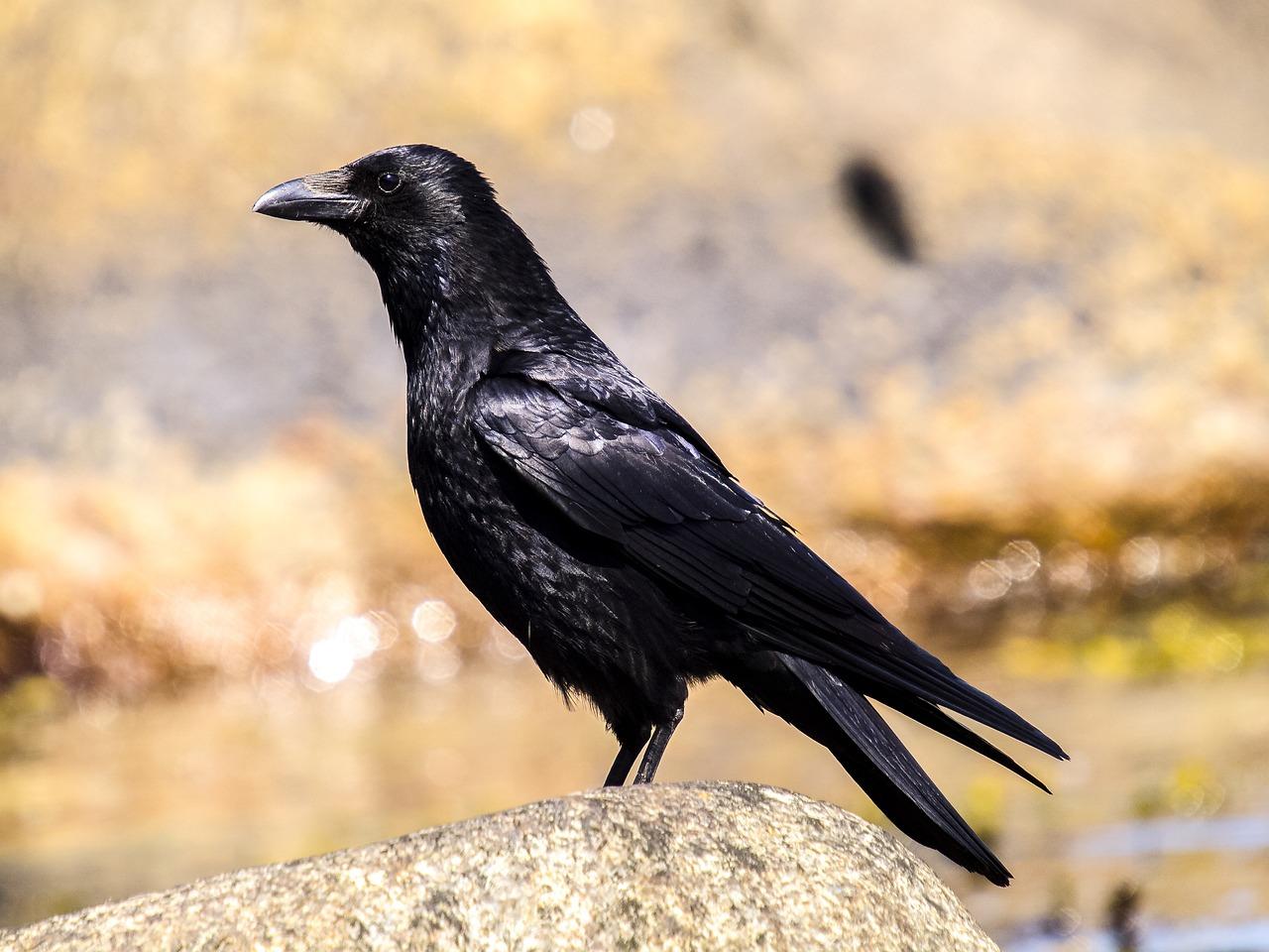 Картинка ворона