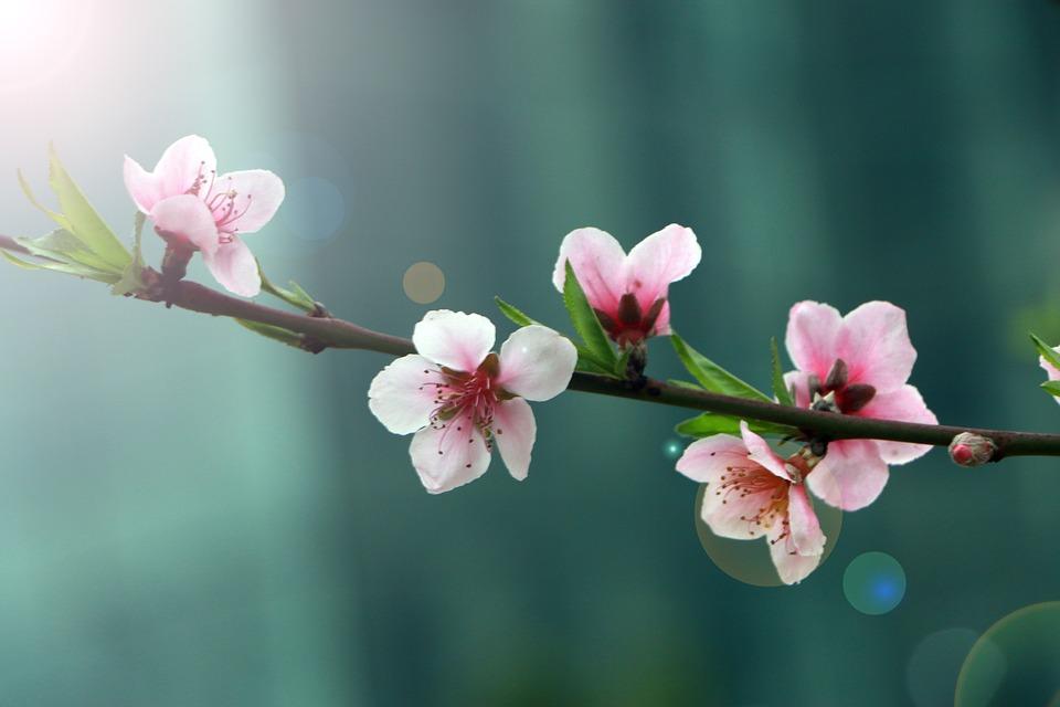 春, 花, 桃の花, ハロー