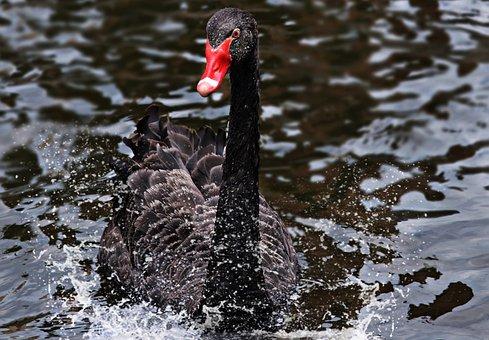Mourning Swan, Swan, Black, Black Swan