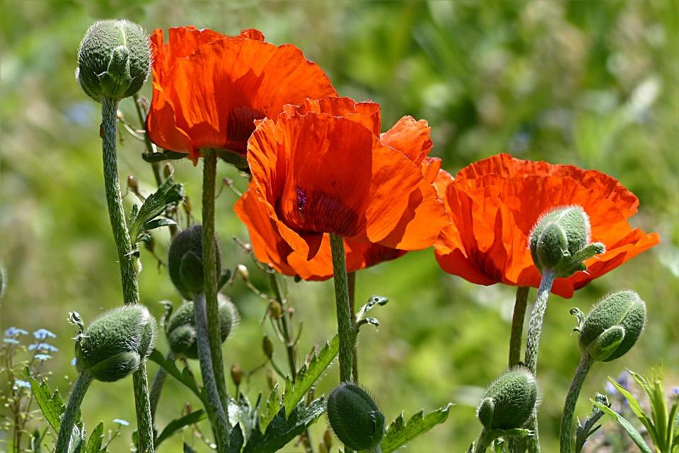 Plant Flower Poppy Free Photo On Pixabay