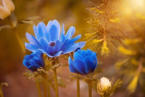 Anemone, Blue, Flower, Blossom, Bloom