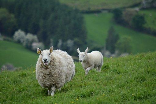 Nature, Animals, Sheep, Ireland