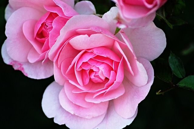 Rose Flower Petals Roses · Free Photo On Pixabay