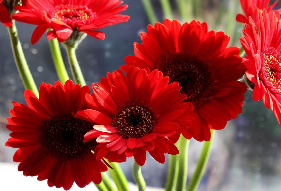 Gerbera bloem bloemen gratis foto op pixabay for Gerbera in de tuin