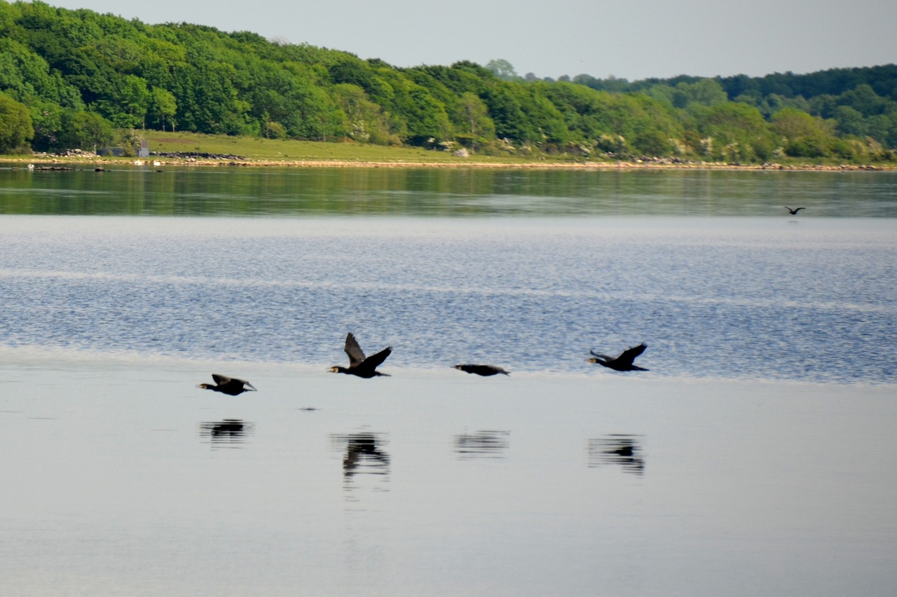 buddhist singles in lake cormorant In recent years, three preferred treatments of the cormorant family have emerged: either to leave all living cormorants in a single genus, phalacrocorax, or to split off a few species such as the imperial shag complex  in europe, a similar practice was also used on doiran lake in the region of macedonia.