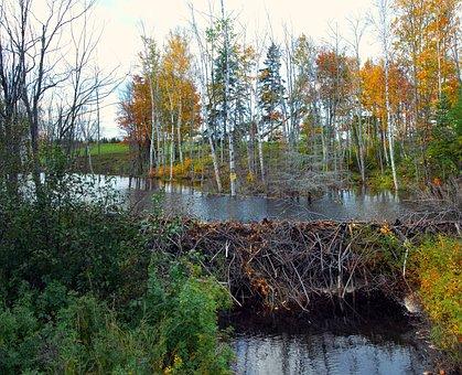 Beaver, Dam, Nature, Water, Castor