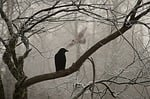 crow, harassing, owl