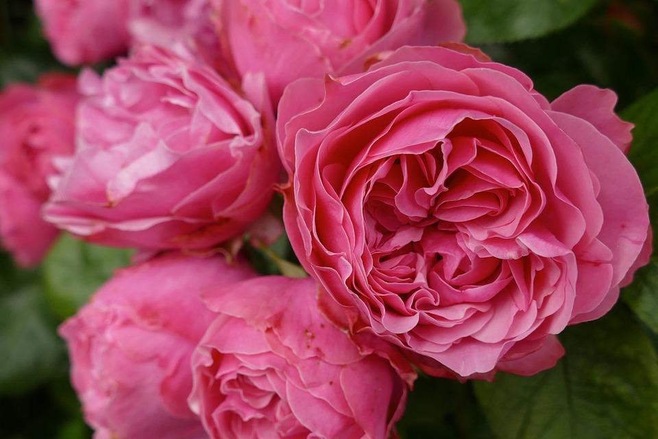 Kết quả hình ảnh cho hoa hồng đậm