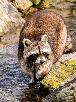 Raccoon, Animal, Mammal, Nature