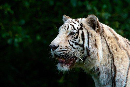 Tigre blanc images gratuites sur pixabay - Images tigres gratuites ...