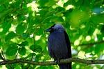 jackdaw, bird, black