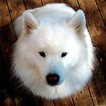 Samoyed, Dog, Happy Dogs, Pet, Animal