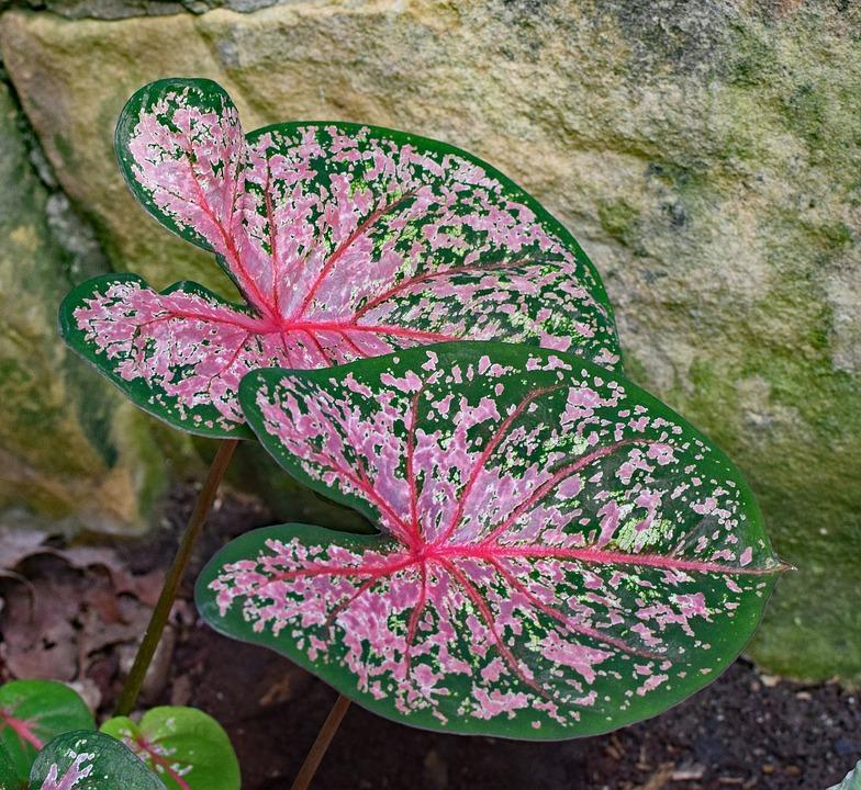 Caladium, Foliage, Garden, Plant, Bulb, Nature