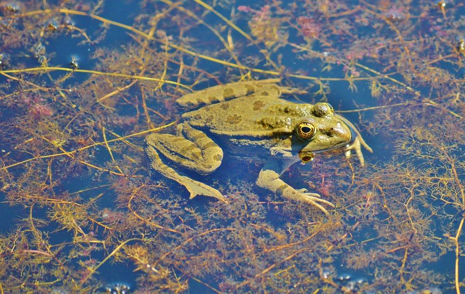 rana estanque estanque de jardn el agua