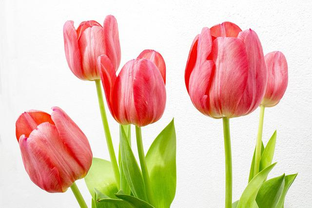Tulip Flowers Nature · Free photo on Pixabay