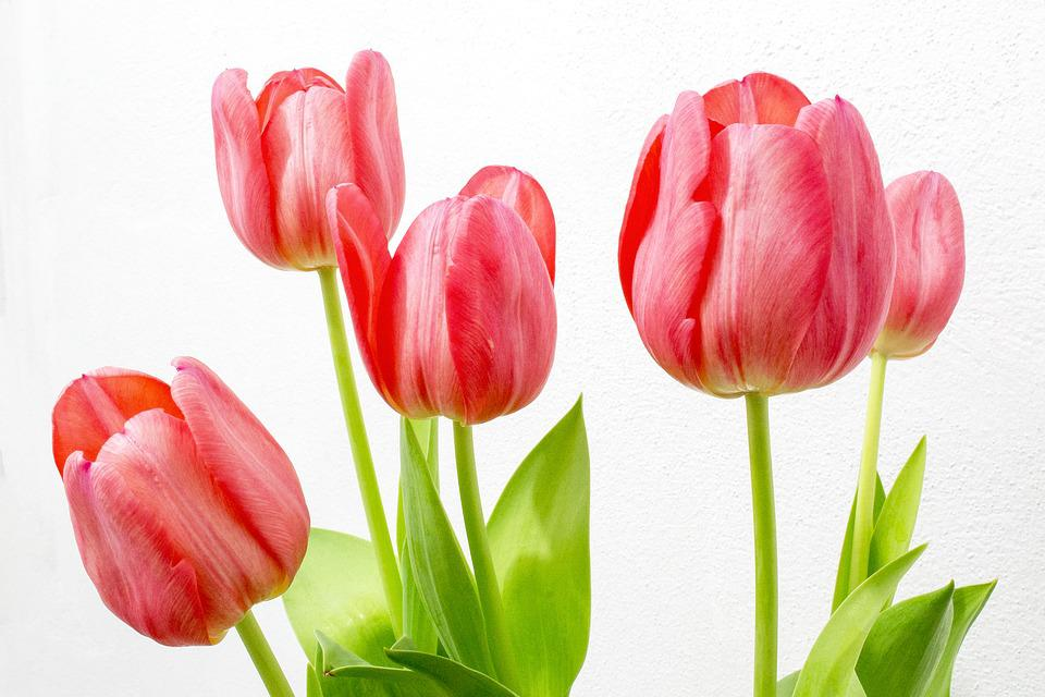 free photo tulip, flowers, nature, flower  free image on pixabay, Beautiful flower
