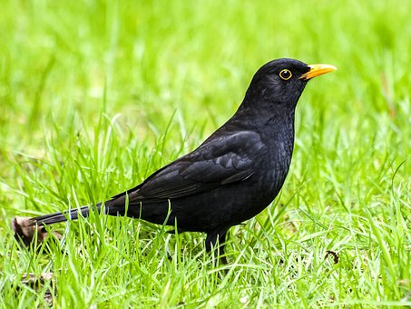 Μεγάλο βυζί μαύρο πουλί