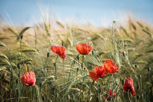 Лето, Поле, Природа, Зерновые
