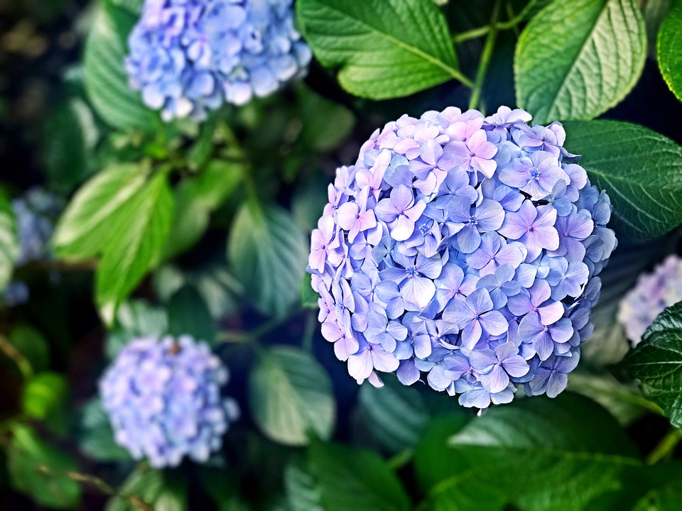 hydrangea  free images on pixabay, Beautiful flower