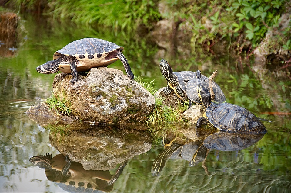 free photo turtle pond nature water turtle   free