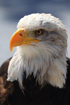 Bald Eagle Free pictures on Pixabay