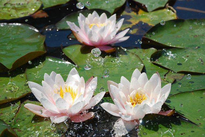 Картинки цветов водоемов с названиями