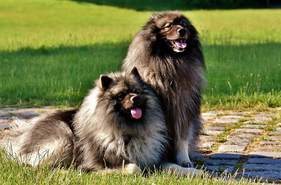 Keeshond Dogs Pointed Long Free Photo On Pixabay