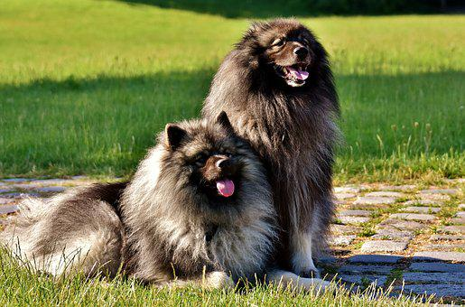 Keeshond, Dogs, Pointed, Long Haired