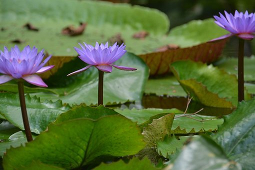 Vitória Régia, Amazon, Forest, Flora