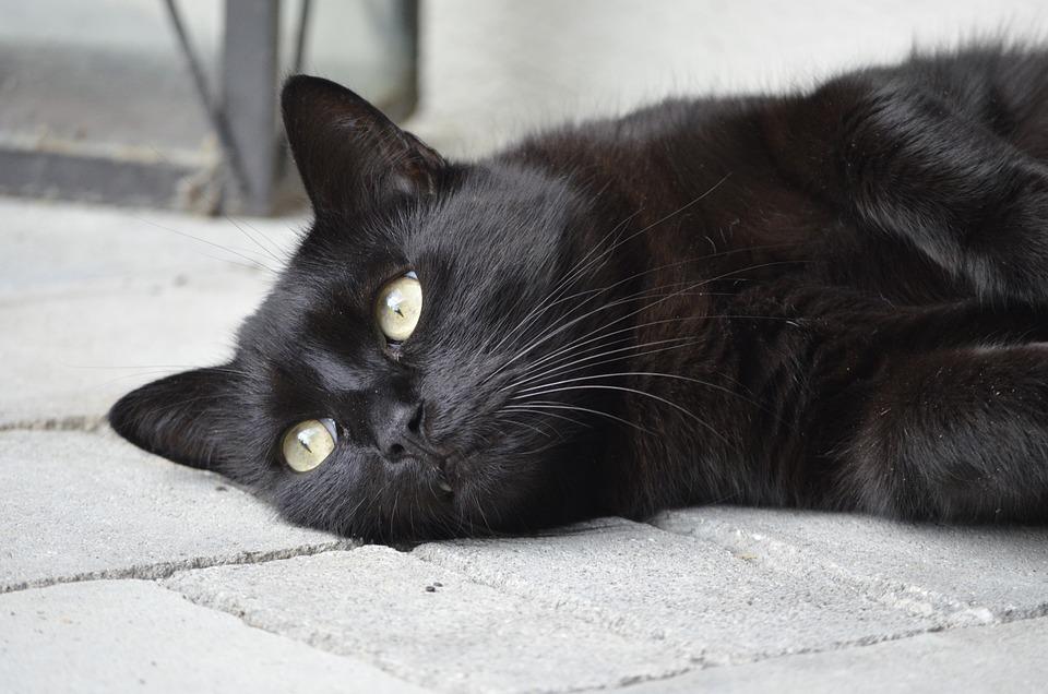 Анималистический Портрет, Кот, Кошка, Черная Кошка