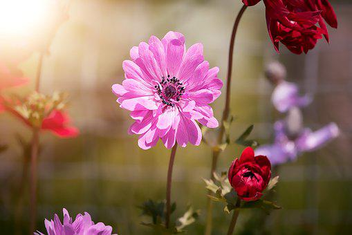 Anemone images pixabay download free pictures anemone pink anemone pink blossom mightylinksfo