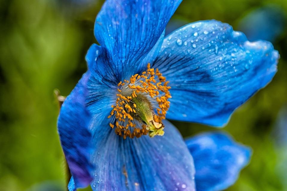Blue poppy flower free photo on pixabay blue poppy flower poppy translucent poppy mightylinksfo