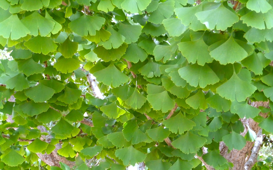 VIDEO: Is Ginko Biloba Still Used? | Dr. Mark Stengler ...