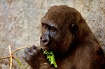 gorilla, feeding, hungry