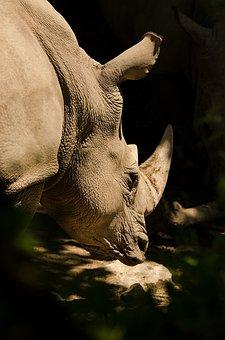 Rhino, White Rhino, Rhinoceros