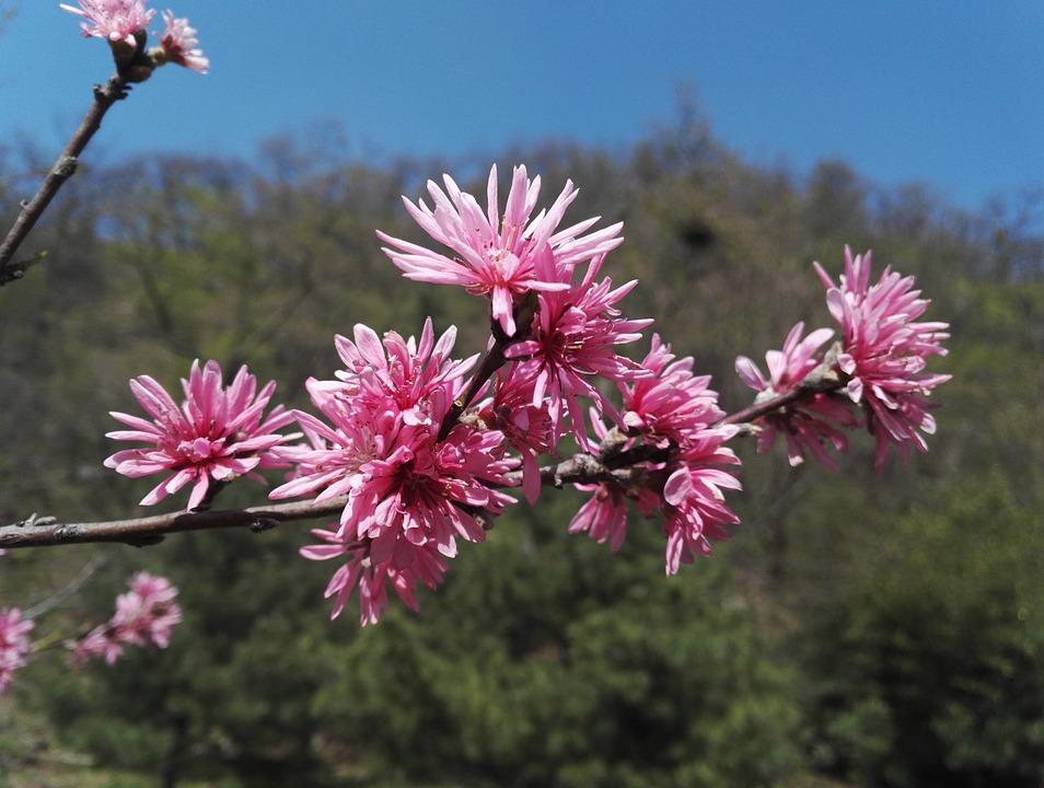 çiçek Açan çiçekler Bahar şeftali Pixabayde ücretsiz Fotoğraf