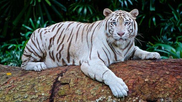 Wei er tiger kostenlose bilder auf pixabay - Images tigres gratuites ...