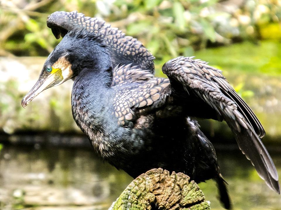 признаки бакланы фото птица того
