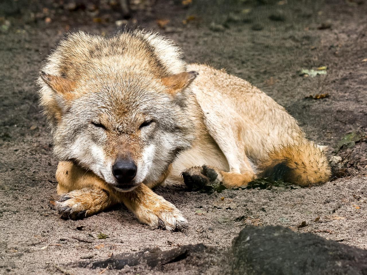 картинки страдающего волка меня