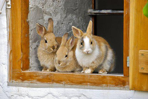 Rabbit, Farm, Window, Cute