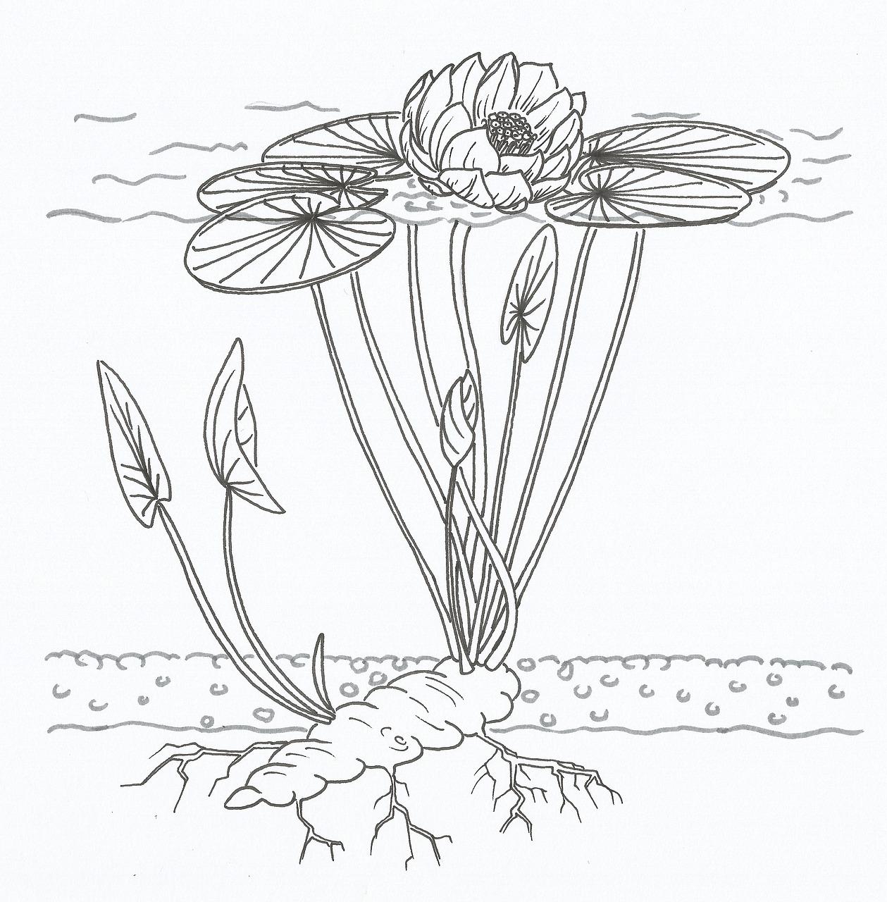 Lotus Diagram Water Lily - Free image on Pixabay