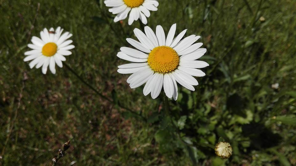 Marguerites Fleur Marguerite Photo Gratuite Sur Pixabay