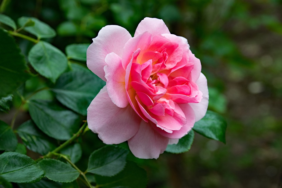 Rose Pink Cloud Climbing Free Photo On Pixabay