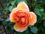 english, rose