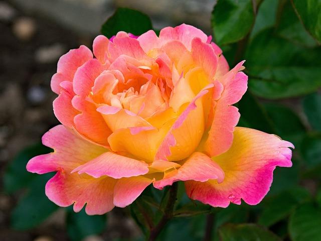 Rose Hybrid Of Tea Tahiti 183 Free Photo On Pixabay
