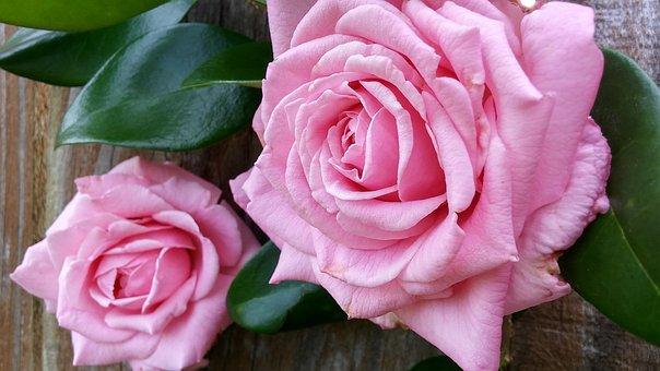 Duas Rosas, Folhas Verdes, Brilhante