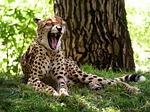 cheetah, cat, yawn