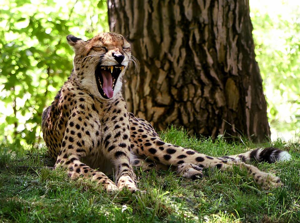 チーター, 大きな猫, あくび, アフリカ, 休憩, 残り, 牧草地, 木, 自然, 捕食者, 動物園, 動物